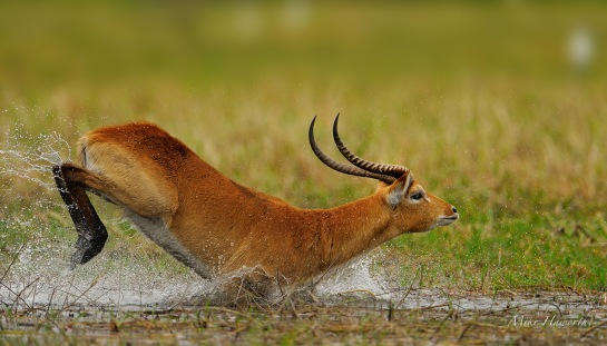 Alarmed, this Lechwe ram races off to put some distance between him and us on an island in the Chobe River.