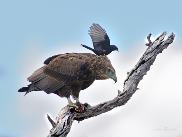 Young Bateleur trying to finish his lunch but was being harassed by this little Drongo.