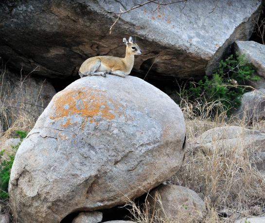 This young Klipspringer was very comfortable sunning itself on this boulder at the base of a kopjie in Kruger Park.