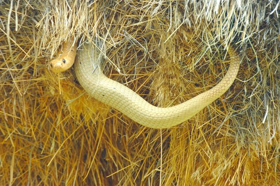 Cape Cobra raiding Social Weaver nests in the Naukuft Nature Reserve in Namibia.