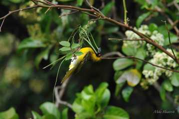 Male Southern Masked Weaver building his nest for a female