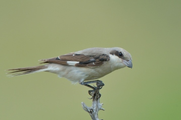 Juvenile female Lesser Grey Shrike near Satara in Kruger Park.