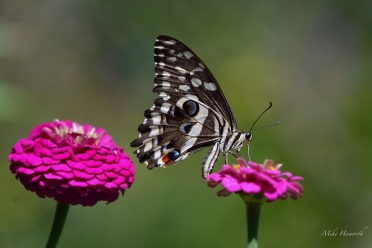 Citrus Swallowtail feeding off a Zinia.