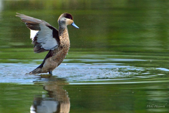 Having drunk it was time to stretch- the colouring of the Hottentot Teal is subtle and beautiful.