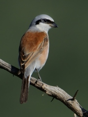 Red-backed Shrike in Pilansberg National Park