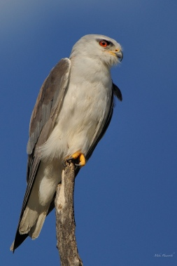 Black Shouldered kite with its distinctive red eye. This is an exquisite small raptor which is especially adept at hovering once it has spotted its prey,