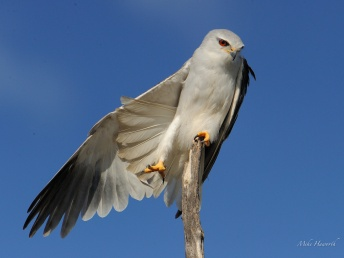 Black Shouldered kite stretching on a perfect perch in the Pilansberg National Park.