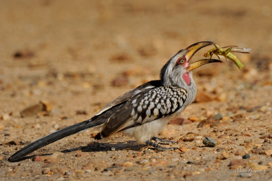 This Yellow-billed Hornbill was feasting on a this large grasshopper. It was quite a job to subdue the grasshopper and get it the right way round to swallow. A wonderful sighting at Leeupan beyond Skukuza in Kruger Park.