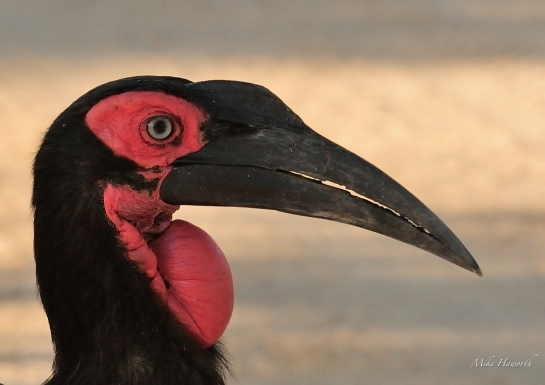 Close up of the Ground Hornbill. The deep red colour is seen in the adult birds.