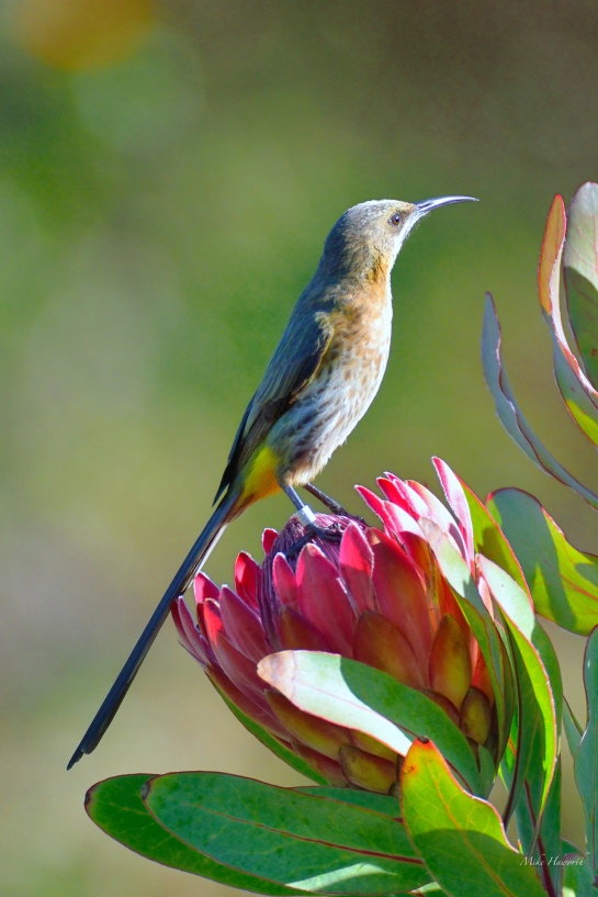 Cape Sugarbird sitting on a Red Rapens Protea flower.