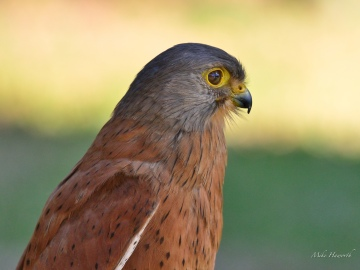 Rock Kestrel at Eagle Encounters - what a beautiful little bird of prey