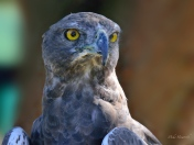 Close up of a Martial Eagle at Eagle Encounters at Spier - huge and majestic