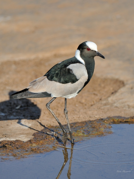 Blacksmith Lapwing drinking from small pools of rainwater in the rocks in a river bed in Mashatu.