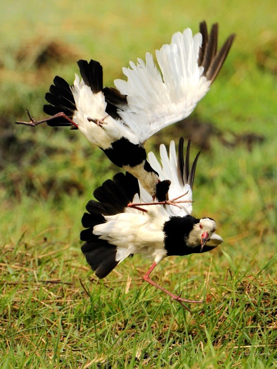 Long-toed Lapwings fighting - they can be very aggressive towards each other.