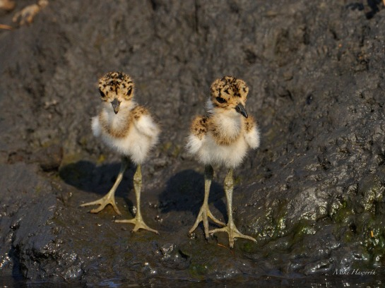 Very small Blacksmith Lapwing chicks along the Chobe River. If it wasn't for the dark clay background we would not have seen them.