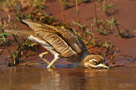 Water-thicknee drinking by scooping up the water much like an Ostrich.