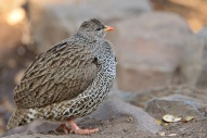 A cold Natal Spurfowl - all puffed up to create a thicker insulating layer of air. This bird had come down to drink from a small waterhole in the shade early one winter morning.