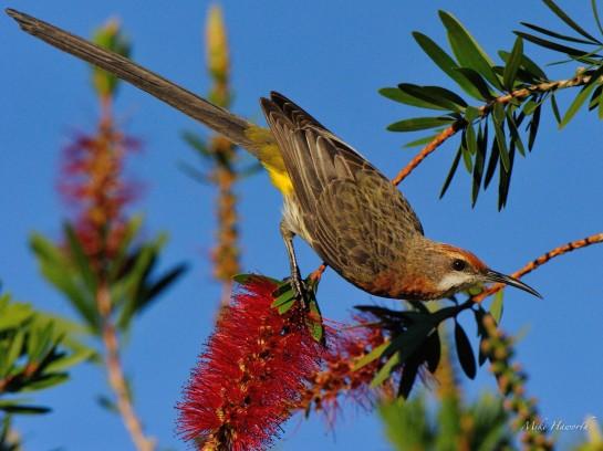 Gurney Sugarbird sitting on a bottlebrush flower at Cathedral Peak in the Drakensberg.