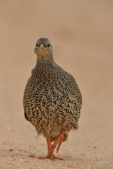 Natal Spurfowl walking to me on a sand road in Kruger Park. They walk quite fast so getting the bird in focus was quite tricky.