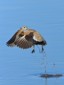Male Burchell's Sandgrouse rocketing out of the water with a trail of water drops underneath it.