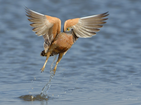 Male Burchell's Sandgrouse taking off after drinking and loading up with water in his breast feathers.