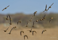 One of numerous flocks of Burchell's Sandgrouse flying in for their morning drink at a waterhole in Etosha.