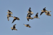 Males and females in a mixed flock of Namaqua Sandgrouse flying in to drink