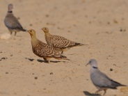 Male Namaqua Sandgrouse in the foreground with a female in the background. Both Sandgrouse are flanked by Cape Turtle-Doves