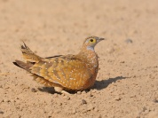 Male Burchell's Sandgrouse settling down to begin his sand bath.