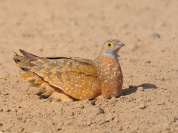 Male Burchell's Sandgrouse rubbing his breast feathers in the sand to remove mites and bugs.