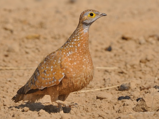 Male Burchell's Sandgrouse alerted by activity among the Cape Turtle-doves on the other side of the waterhole. This is a great place for Lanner falcons to hunt.