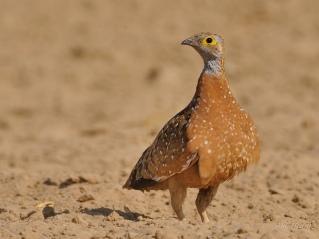 Male Burchell's Sandgrouse