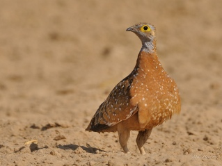 Male Burchell's Sandgrouse