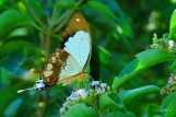 Forest Swallowtail