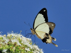 Forest Swallowtail feeding on a Bride of the Forest at Ponte Malongane.