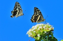 Citrus Swallowtails attracted by the Bride of the Forest and each other.