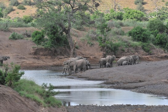 A peaceful scene where a herd of Elephant is drinking from the Matabole River in Mashatu.