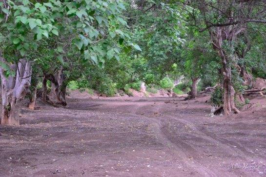 A tree line sand tributary of the Matabole river in Mashatu.