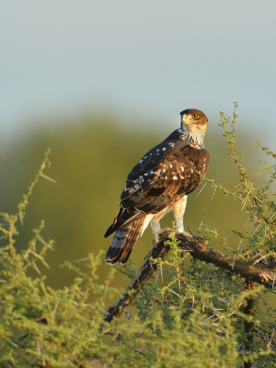 Another African Hawk-Eagle looking for prey early one morning in Mashatu.