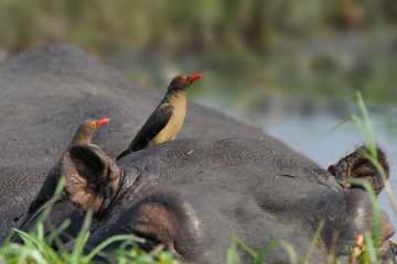 A pair of Red-billed Oxpeckers looking to feast on a hippo's hide. Hippos usually have an open sore or wounds from their fighting which is a banquet for these sanitizers