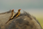 A pair of Red-billed Oxpeckers on a Buffalo's back searching for ticks and sores