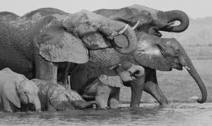 Thirsty family of Elephants drinking from the Chobe River.