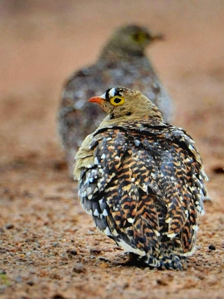In the foreground is a male Double-banded Sandgrouse. The shot was taken on a sand road in Kruger Park.