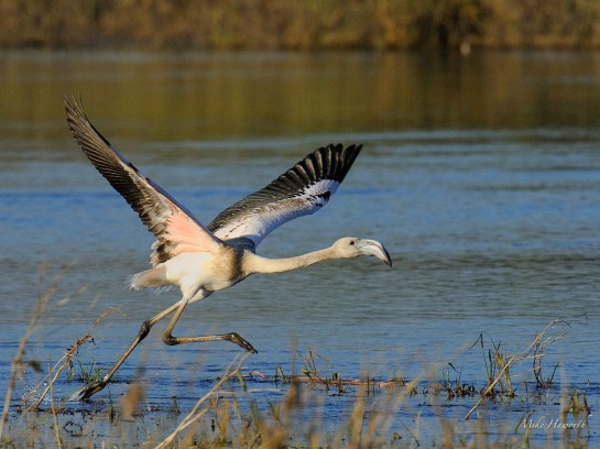 Juvenile Greater Flamingo taking off. It has to canter in the shallows to pick up enough air speed under its wings.