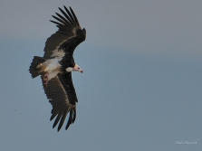 White-headed Vulture flying in to rest on a sand island in the Chobe river