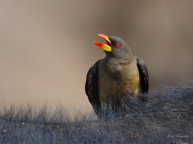 Yellow-billed Oxpecker on a Buffalo's back.