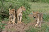 Three lion cubs following their mother who is looking for a place to rest up for the day in Mashatu