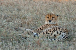 Male Cheetah lying in the shade next to a open area ideal for hunting in Mashatu.