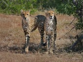 A male and female Cheetah appear from around a bush and stop to survey the scene in Mashatu