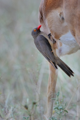 This Red-billed Oxpecker also helps smaller animals. I thought this was an interesting shot more because of the size of the bird relative to the Impala host